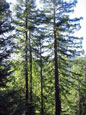 Usal Redwood Forest: healthy forest
