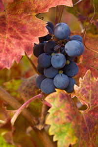 Grapes, photo credit: Linda Morley-Wells