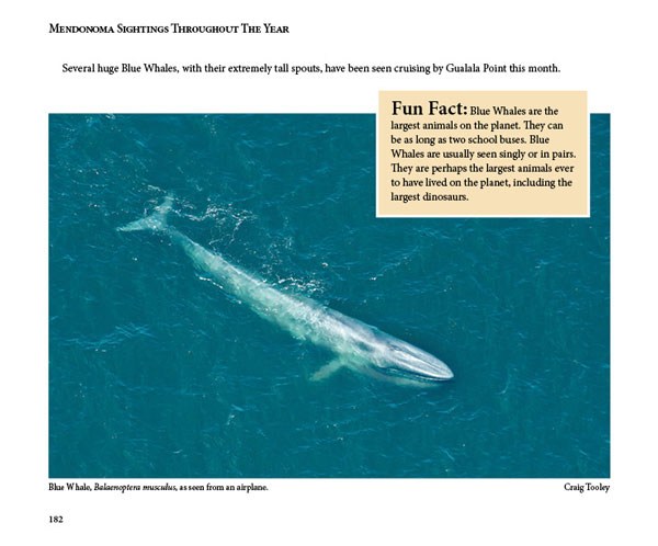 Mendonoma Sightings, Blue Whales