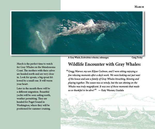 Mendonoma Sightings, Gray Whales
