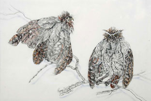 Pygmy Owls, drawing by Genevieve (Genny) Wilson