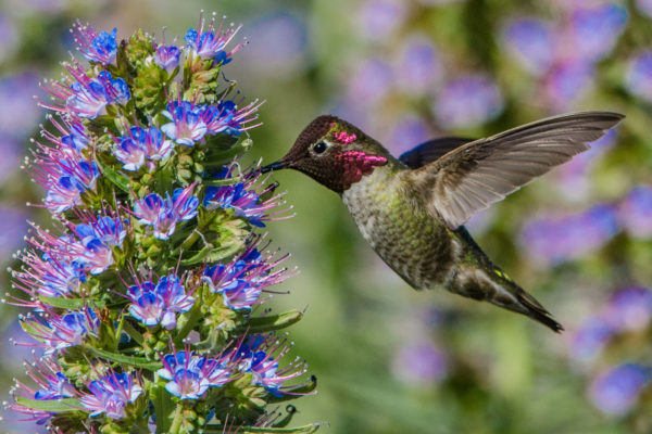 Anna's hummingbird on Pride of Madeira, photograph by Paul Brewer